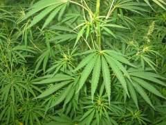 Cataluña tendrá una ley que regulará el consumo, cultivo y transporte del cannabis