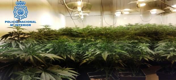Marihuana intervenida en un zulo de El Ejido
