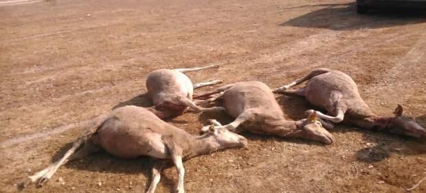 Ataque de perros asilvestrados en Villaseco de los Gamitos (Salamanca)