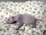 La pequeña panda de un zoo de Tokio