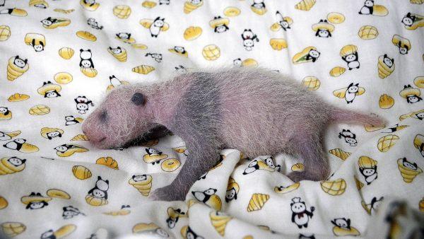 Una cría de oso panda de menos de 100 gramos