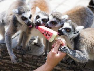 Lemures comiendo un helado