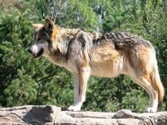 Lobo en Cabárceno