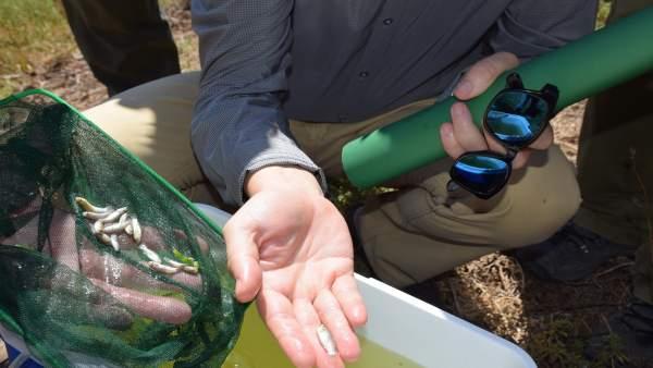 Pex fartet suelta en málaga desembocadura del guadalhorce especie piscícola amen