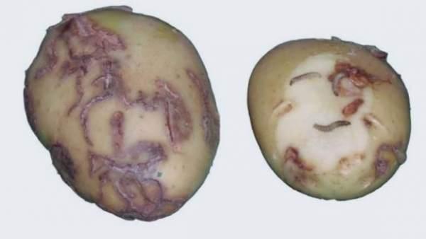 Patata afectada por la polilla guatemalteca.
