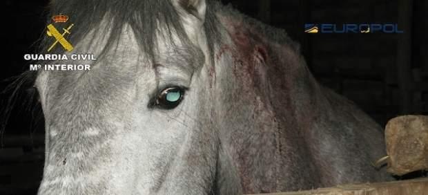 Uno de los caballos utilizados por la red internacional desmantelada