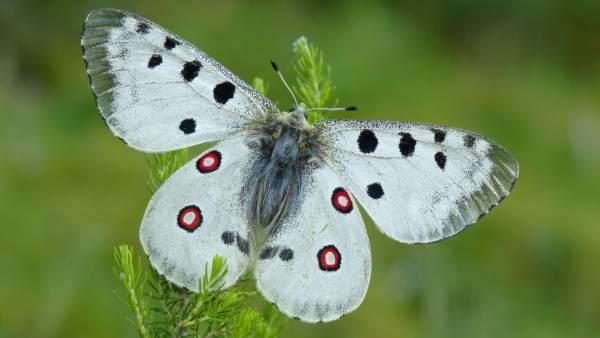 Mariposa Parnassius Apollo