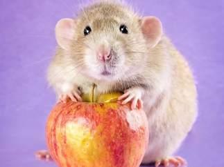Una fotógrafa retrata ratas con ternura para cambiar su imagen negativa