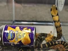 Un detenido por contrabando tras interceptarle tres cobras reales escondidas en botes de patatas