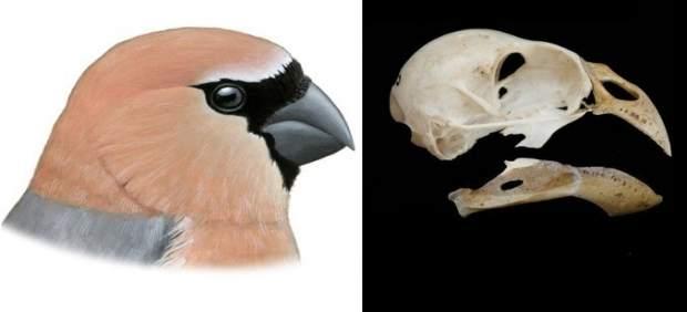 Huesos de una ejemplar de Pyrrhula crassa, un pinzón extinto