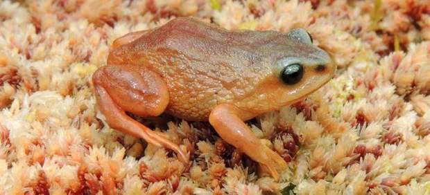 Hallan tres nuevas especies de ranas en Perú