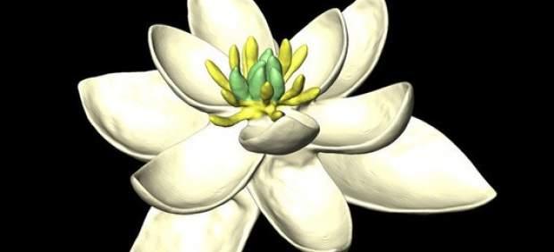 Modelo de ancestro de flor de angiosperma