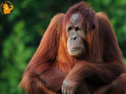 Orangutana Victoria