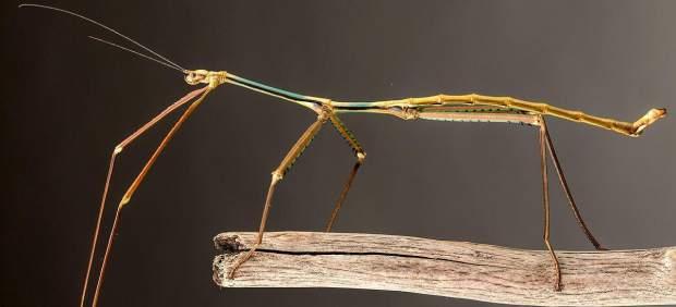Phryganistria Chinensis Insecto más largo del mundo