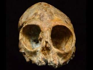 Cráneo de primate