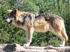 Un municipio cordobés solicita paralizar el Programa de Recuperación del Lobo Ibérico
