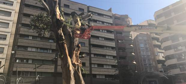 Ficus de Santo Domingo (Murcia)