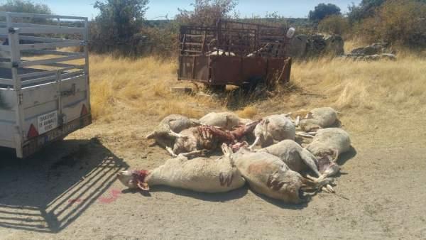Ovejas de una explotación de Fresnadillo matadas por los lobos.