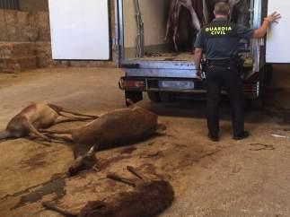 Ciervos cazados ilegalmente.