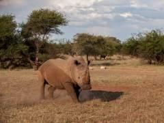 Arranca con polémica la primera subasta de cuernos de rinocerontes en Sudáfrica