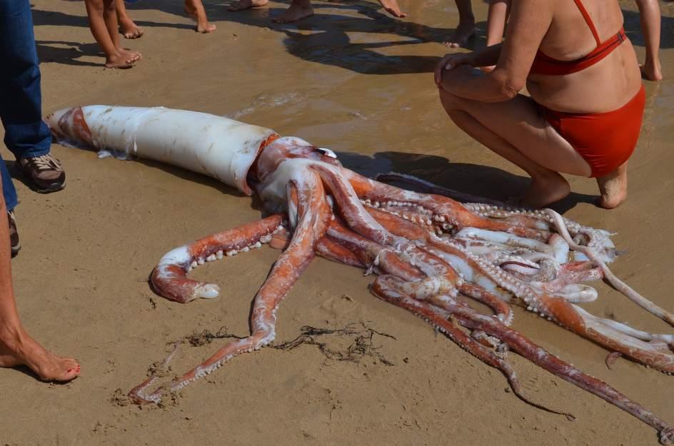 Un calamar gigante aparece en la playa de Llanes