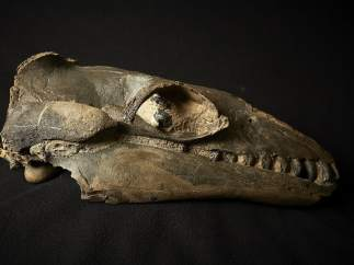 Calavera fosilizada de una ballena primitiva