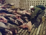 Tiburones muertos a bordo del Fu Yuan Yu Leng 999