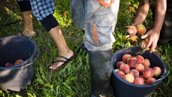 Ofertas de empleo recogida de fruta valencia