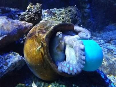 Pulpo de Sea Life bautizado como Pau Gasol