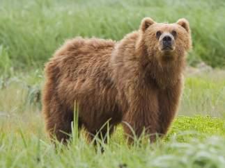 Oso gigante de Alaska y oso pardo