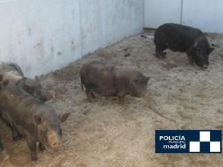 Cerdos vietnamitas incautados por la Policía Municipal de Madrid