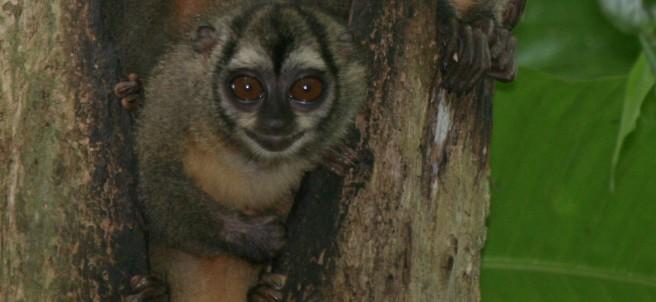 Ejemplar de mono nocturno