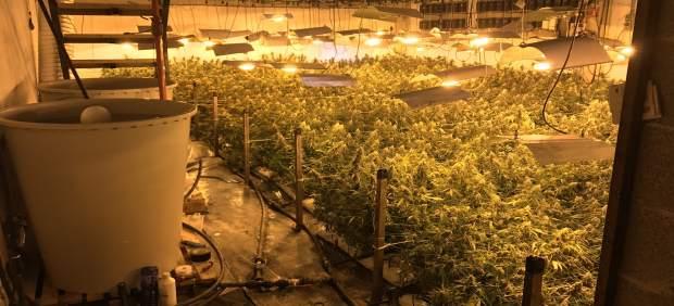 PLantación de marihuana en Usurbil