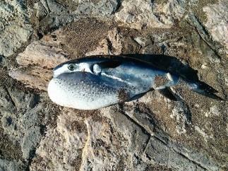 Pez globo Lagocephalus lagocephalus