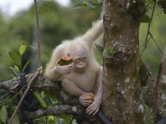 Alba, la orangutana albina de Indonesia, vivirá en un área de selva protegida