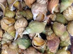 Los moluscos ahorran energía construyendo conchas más pequeñas