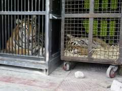 Un circo dona un león y siete tigres