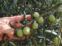 EE UU impone un arancel a la aceituna española por competencia desleal