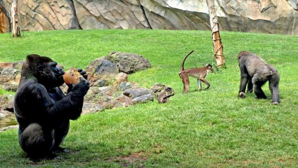 Primates Toman Helados De Frutas Para Combatir El Calor En Bioparc