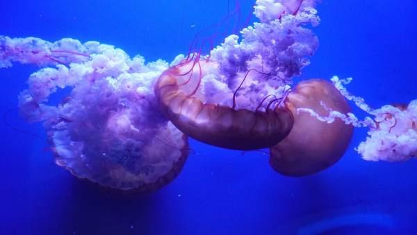 Nacen más de mil medusas en un año en l'Oceanogràfic