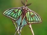 Mariposa Zerynthia