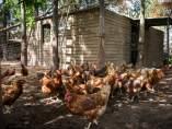 Residuos para gallinas
