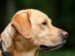 Los perros usan más expresiones faciales cuando les miras