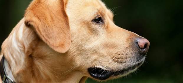 Los perros usan más expresiones faciales cuando una persona les está mirando