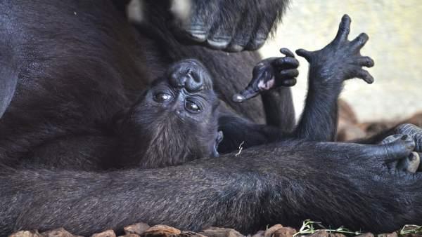 El bebé gorila Mbeli