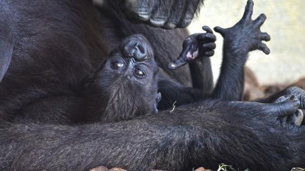 El tercera nadó goril·la valenciana nascuda en Bioparc es diu Mbeli