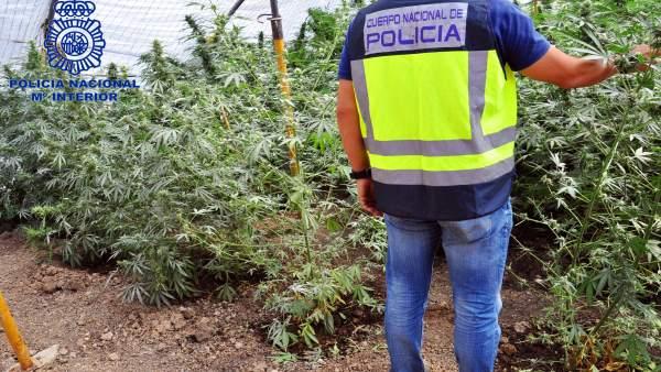 Desarticulada una plantación de marihuana cerca de Pruna (Sevilla)