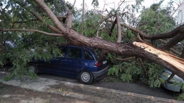 El árbol derribado en el polígono de Torrellano en Elche