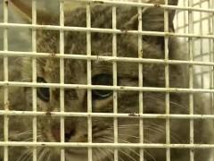Científicos hallan en Creta un ejemplar de gato salvaje que se creía extinguido desde 1997