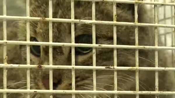 Gato salvaje cretense rescatado